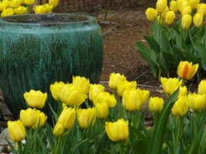 Yellow tulips light up the garden in early May. A beautiful turquoise glaze fountain really makes the yellow pop.