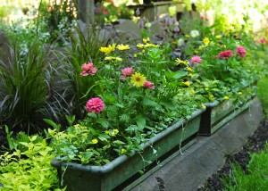 Antique metal window box with pink zinnias, Argyranthemum Butterfly, Dichondra Silver Falls, Lantana Samantha
