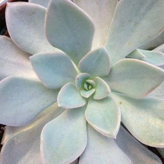 Echeveria, simply beautiful