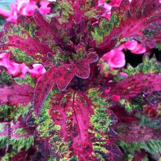 Coleus 'Elfers', July 1