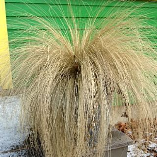 Pony Tails (Angel Hair) grass in winter